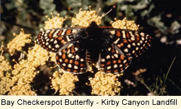 Bay Checkerspot Butterfly - Kirby Canyon Landfill